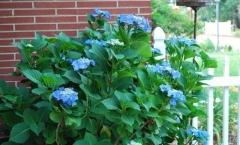 Hydrangea macrophylla Blaumeise