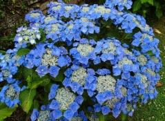 Гортензия садовая голубая Блаумайс