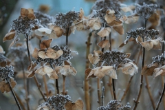 Hydrangea macrophylla Teller Blue