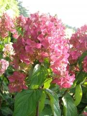 Hydrangea paniculata ilvomindy