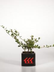 Cotoneaster suecicus Skogholm 2 года