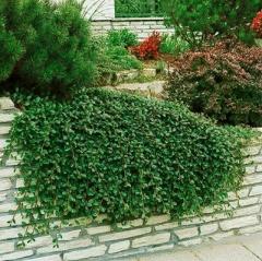 Cotoneaster suecicus Skogholm