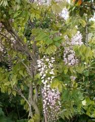 Wisteria floribunda Honbeni