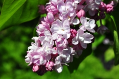 Syringa Belle de Nancy