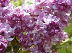 Сирень обыкновенная Бель де Нанси (розовая)