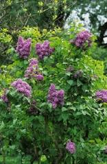 Syringa vulgaris Massena