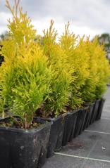 Thuja occidentalis Janed Gold