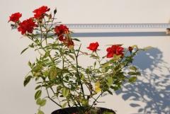 Роза Миниатюр Оранж / Троянда Мініатюр Оранж