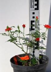 Троянда Мініатюр Оранж 5років