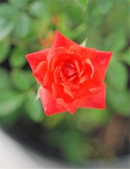 Троянда Miniature Orange