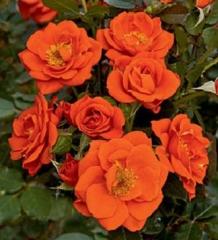 Троянда Мініатюр Оранж