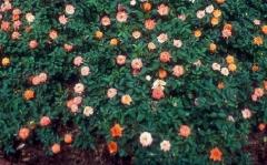 Rosa Miniature Orange