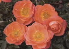 Роза Miniature Orange