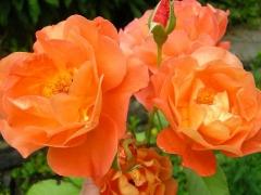 Миниатюрная Роза Оранж