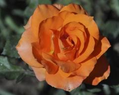 Роза миниатюрная Оранж