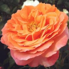 Роза Миниатюр Оранж / Троянда Мініатюр Оранж / Rosa Miniature Orange