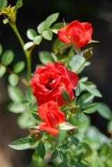 Троянда Miniature Orange в контейнері
