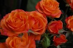 Роза Миниатюр Оранж / Rosa Miniature Orange