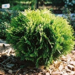 Thuja occidentalis Mirjam