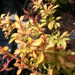 Барбарис Тунберга Голден Дрім В конце лета - начале осени листья преобритают оранжево-коралловый оттенок.