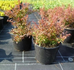 Berberis thunbergii Orange Dream