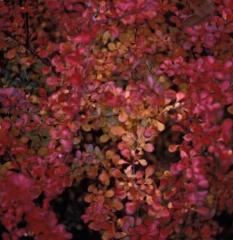 Осенью Барбарис Тунберга Сенсейшен темнеет до оранжево-красного цвета.