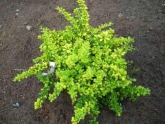 Молодые листики Барбариса Тунберга Sensation ярко-зеленого цвета.