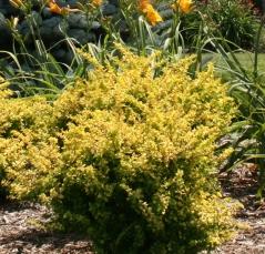 Летом Berberis Sensation становятся золотисто-желтым.