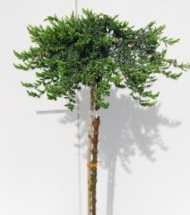 Juniperus Greenmantle плакучий на штамбе 0,9-1,05м