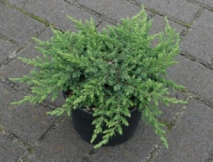 Juniperus Green Mantle