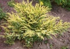 Juniperus communis Depressa Aurea
