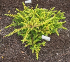 Juniperus conferta Allgold/All Gold