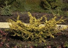 Juniperus Plumosa Aurea осенью.