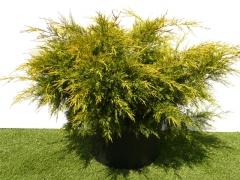 Juniperus pfitzeriana Plumosa Aurea