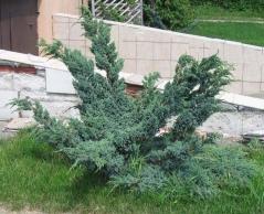 Можжевельник чешуйчатый Мейери Компакта <br>Ялівець лускатий Меєрі Компакта <br>Juniperus squamаta Meyeri Compacta