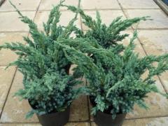 Juniperus squamаta Meyeri Compacta