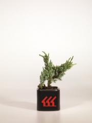 Можжевельник чешуйчатый Meyeri Compacta 2 года