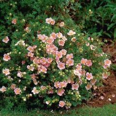 Лапчатка кустарниковая Лавли Пинк ® / Пинк Бьюти ® <br>Лапчатка кущова Лавлі Пінк ® / Пінк Бьюті ® <br>Potentilla fruticosa Lovely Pink ® / Pink Beauty ®