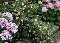 Potentilla fruticosa Lovely Pink®/Pink Beauty®