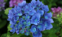 Гортензия крупнолистная Блю Донау <br>Гортензія крупнолиста Блю Донау <br>Hydrangea macrophylla Blue Danube