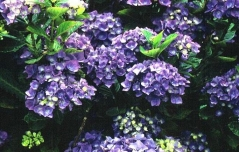Hydrangea macrophylla Blue Danube