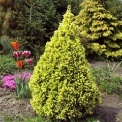 Ель канадская Коника Майголд <br>Ялина канадська Коніка Майголд <br>Picea glauca Conica Maigold
