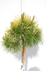 Pinus mugo Ophir на штамбе 0,65-0,9м