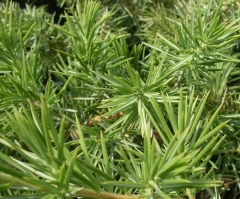 Juniperus Emerald Sea