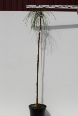 Thuja plicata Whipcord плакучая на штамбе 1,4м