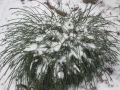 Thuja plicata Whipcord зимой.