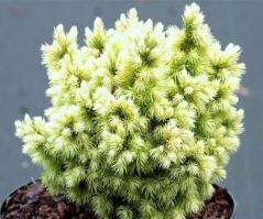 Picea glauca Jalako Gold