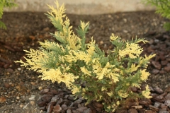 Juniperus рfitzeriana Blue and Gold