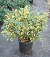 Juniperus Blue and Gold