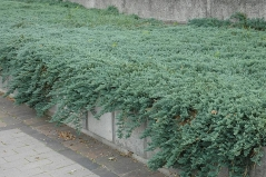 Можжевельник горизонтальный Айс Блю® / Монбер® <br>Ялівець горизонтальный Айс Блю® / Монбер® <br>Juniperus horizontalis Icee Blue® / Monber®